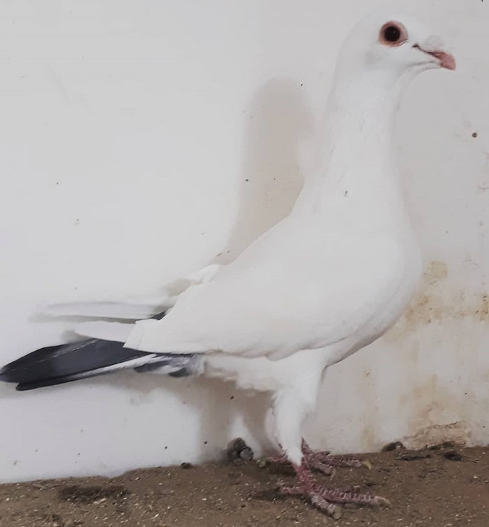 blue tail pigeons