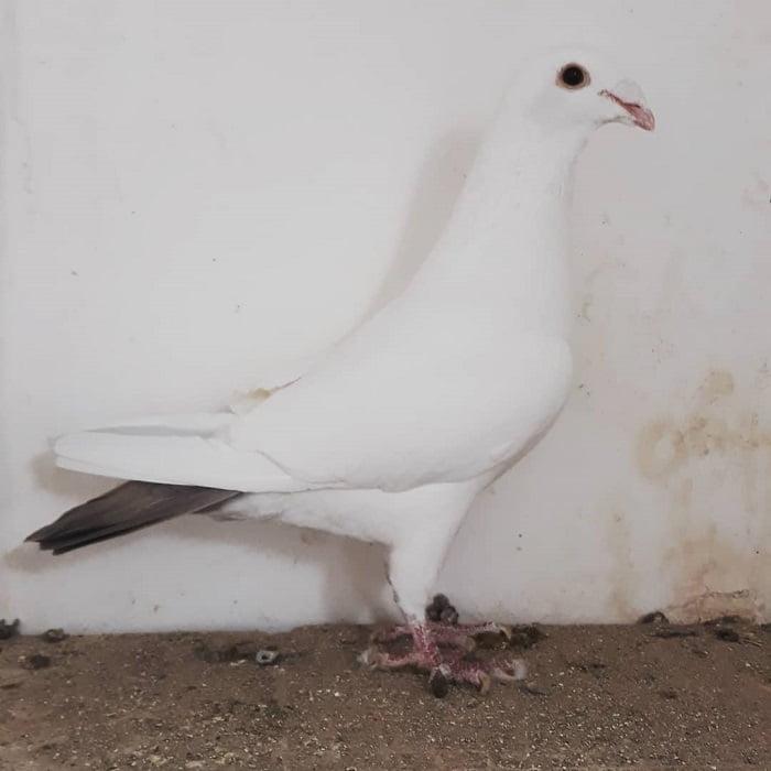 tail mark - spanish bagdad - palomas