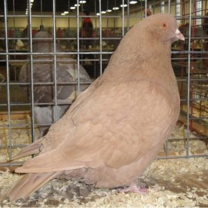 mondaine american - meat pigeons - big pigeons