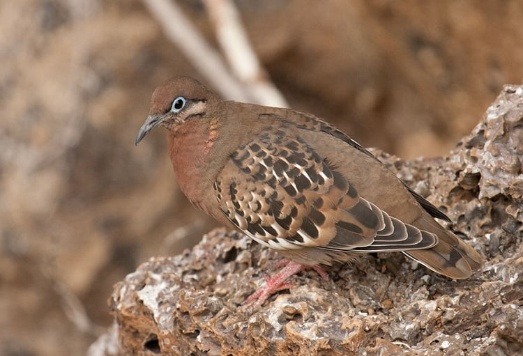 Zenaida galapagoensis - american dove