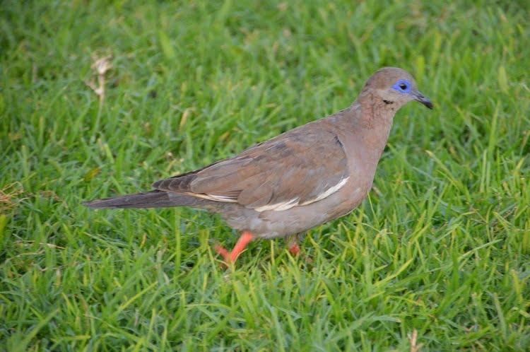 Zenaida meloda - american dove