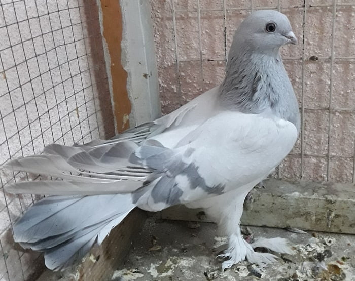 tumbler pigeons - russian - coop tumbler