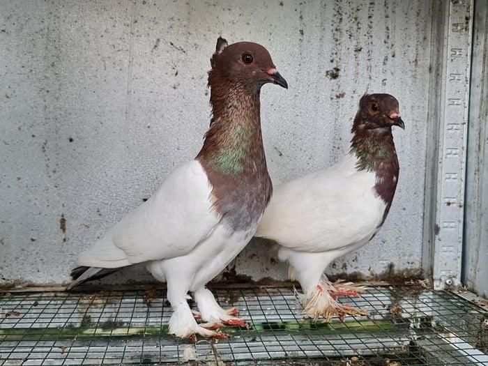 pigoens - endemic -exotic