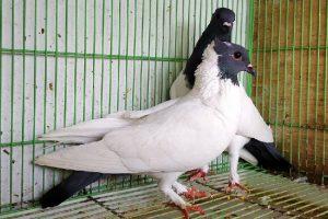 exotic soncop pigeons