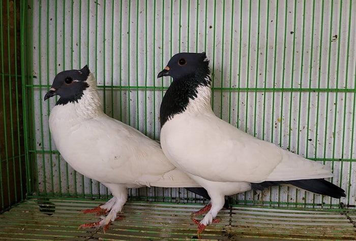 indonesian pigeons - songkop
