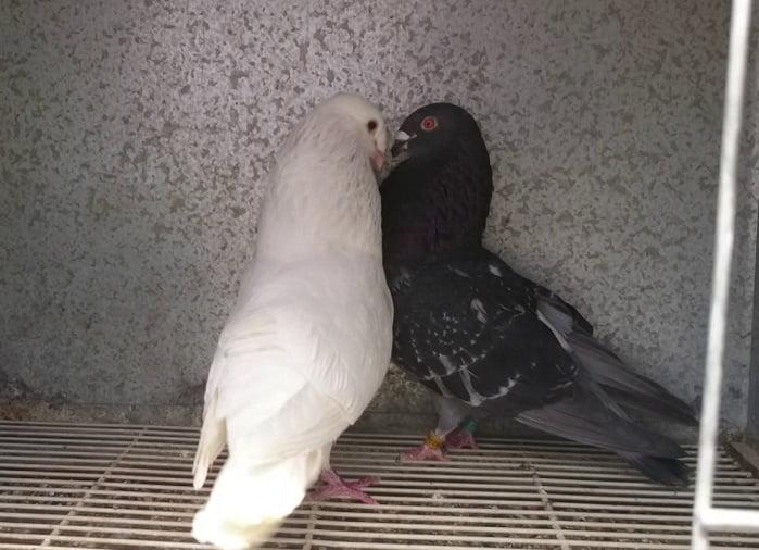 spansih pigeons - buchon tiro