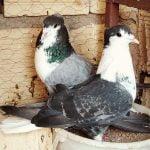 pigeons - homer - irannian