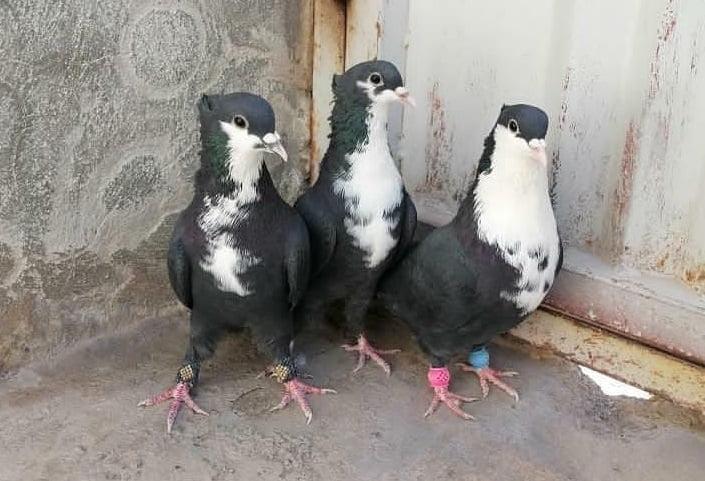 form - shirazi - pigeons - efsahani