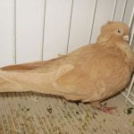 jucator - romanian tumbler pigeons