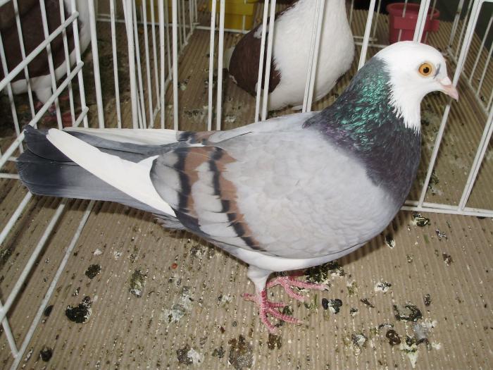 severin -pigeons - tumbler