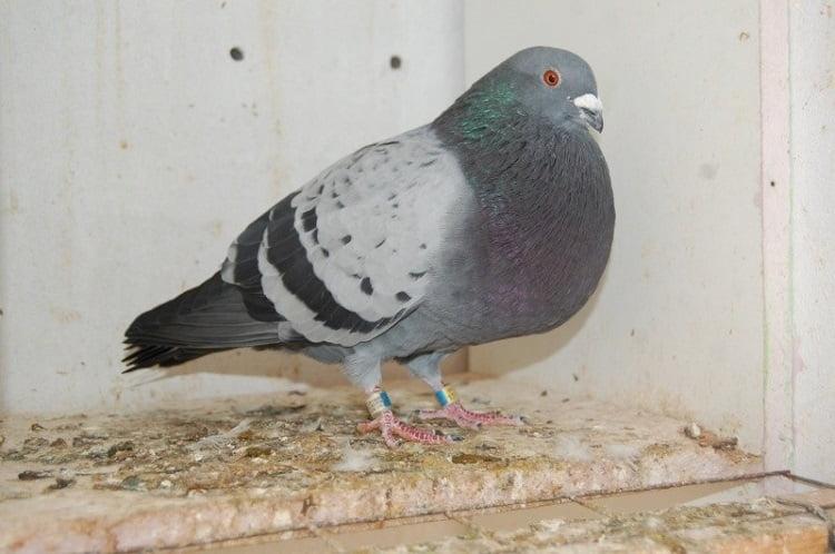 veleno cropper pigeons - spanish - malaga