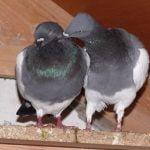 pigeons - tumbler