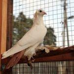 north caucasian tumbler pigeon - crack tumbler - oldest breeds