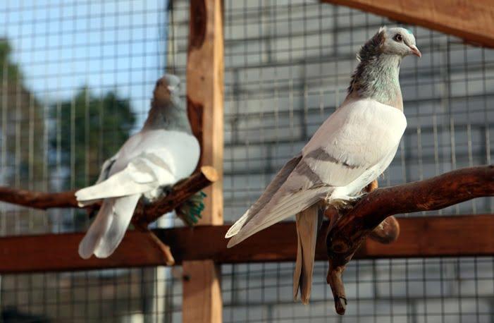 tümmler - russian - pigeons