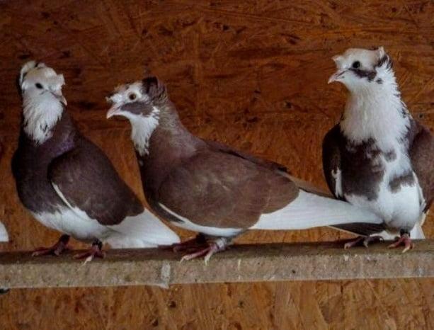 güvercin - bayburt