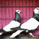 Merpati Endemik dari Indonesia - flying pigeons