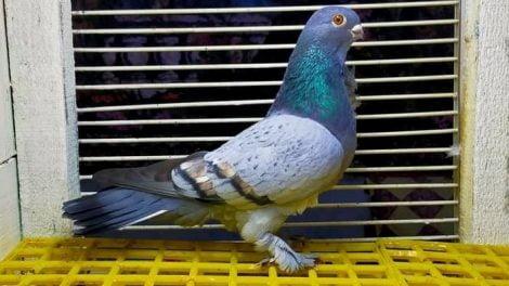 turkish pigeons - manisa azmanı