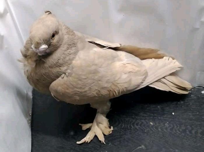 turkish pigeons - owl
